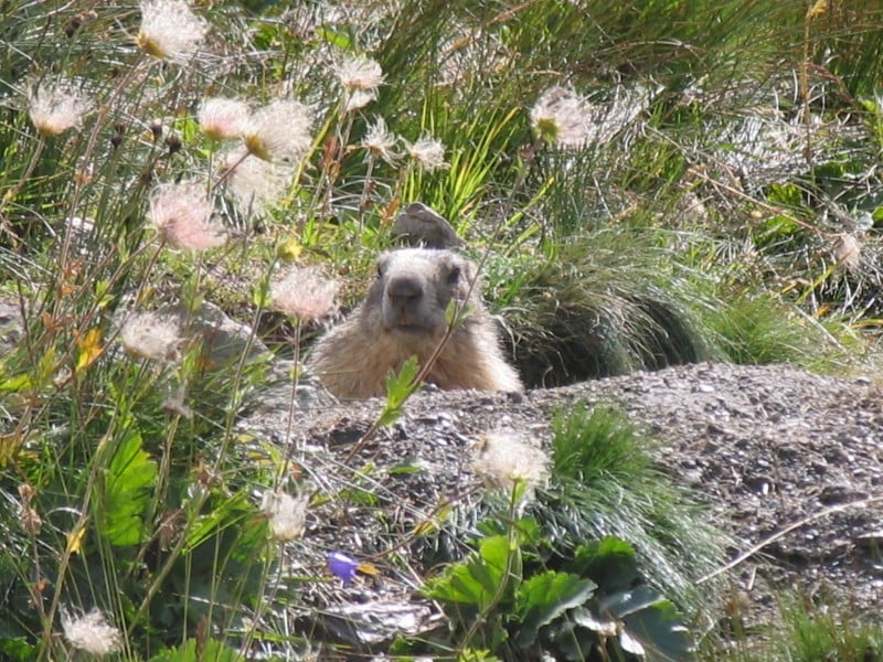 47-marmotte_redim